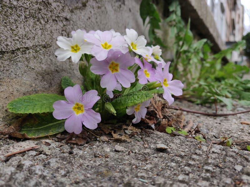Digitalis purpurea - fiori rosa della digitale fotografia stock