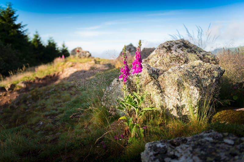 Digitalis Purpurea, purple flowers, Beaujolais, France royalty free stock images