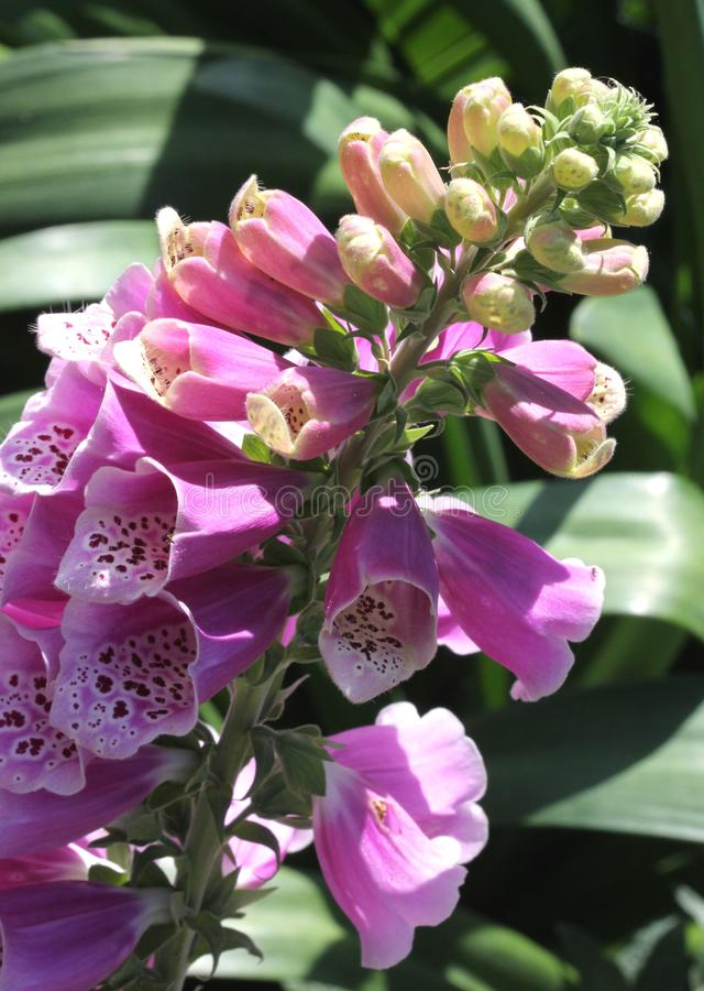 Digitalis purpurea, Purple foxglove, Common foxglove. Herbaceous plant alternate leaves and purple tubular flowers with dark patches inside, ornamental and royalty free stock photography