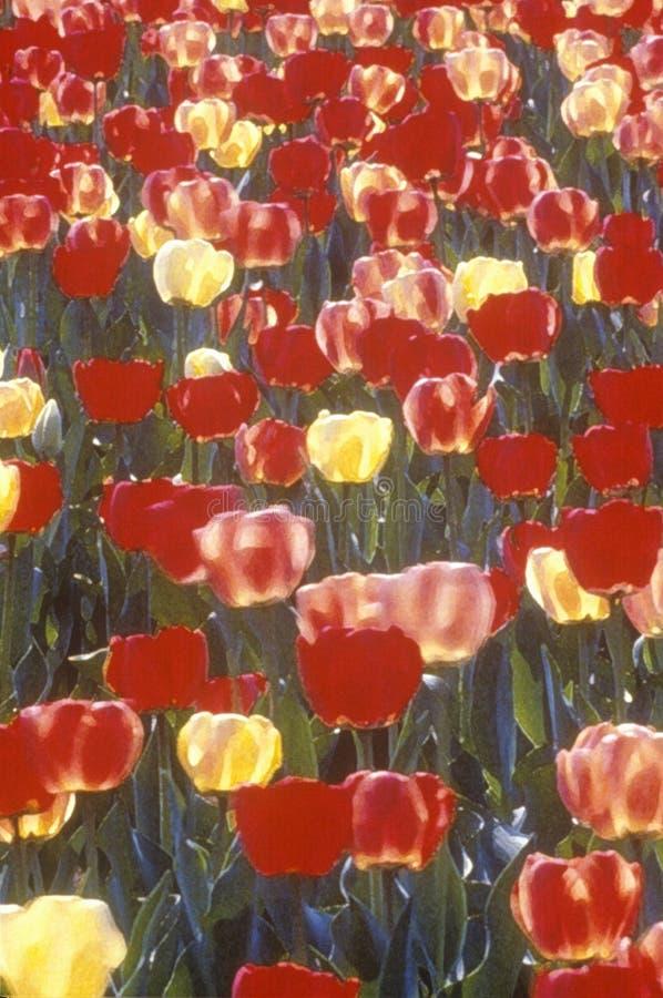 Digitized image of tulips in bloom, Spring, Washington, DC stock photo