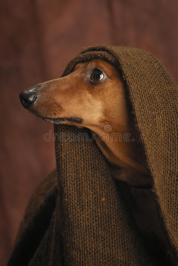 Download Dignity stock image. Image of hound, mammal, lovely, attitude - 30544925