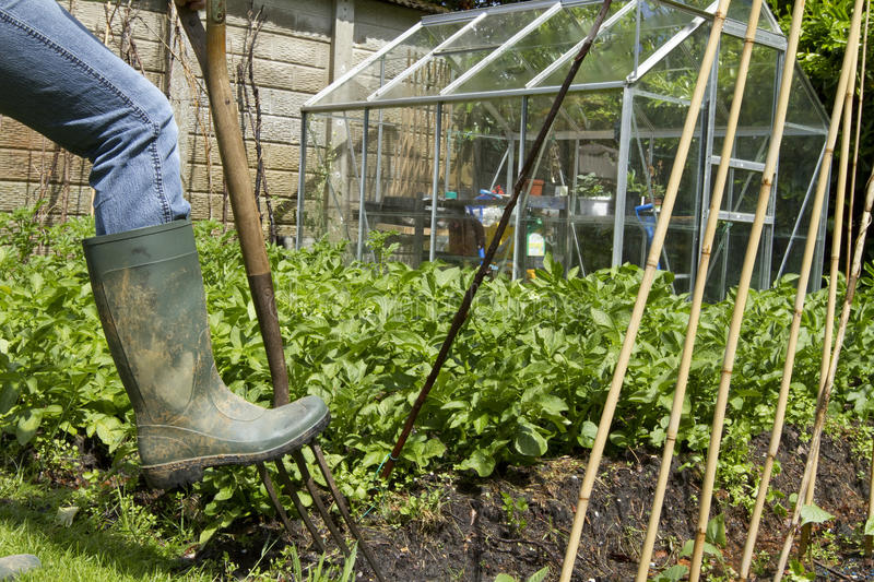 Digs In Garden With Pitchfork Royalty Free Stock Image