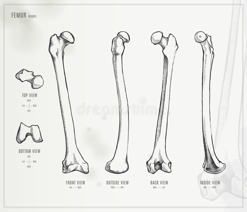 dijbeen vector illustratie