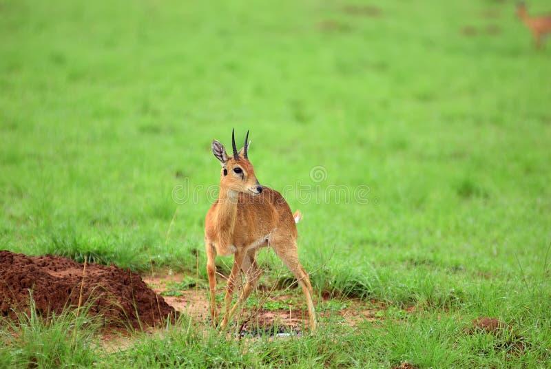 Dik-dik 默奇森Falls国家公园,乌干达 库存图片