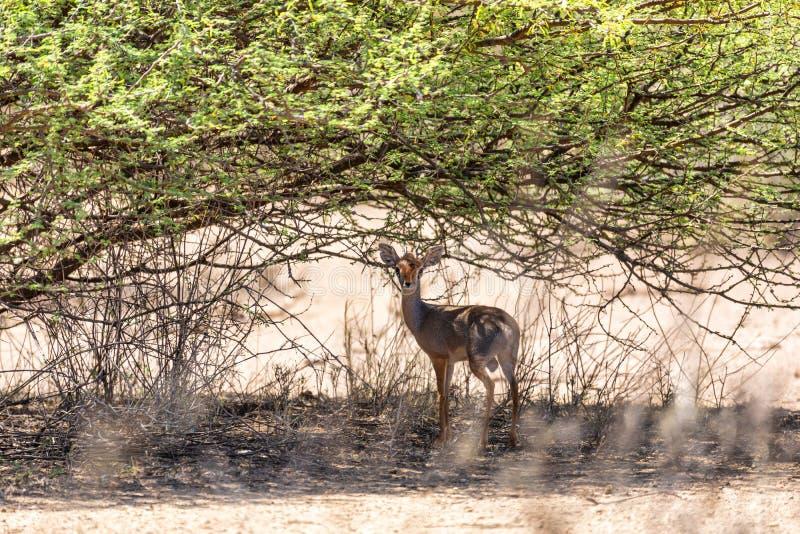 Dik-Dik antelope, Awash Ethiopia. Dik-Dik is one of the smallest and cuttest antelope species of small antelope in the genus Madoqua. Awash national Park royalty free stock images