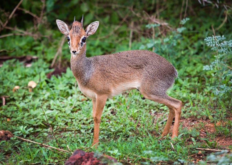 Dik-dik. Jeziorny Manyara park narodowy, Tanzania, Afryka. obrazy stock