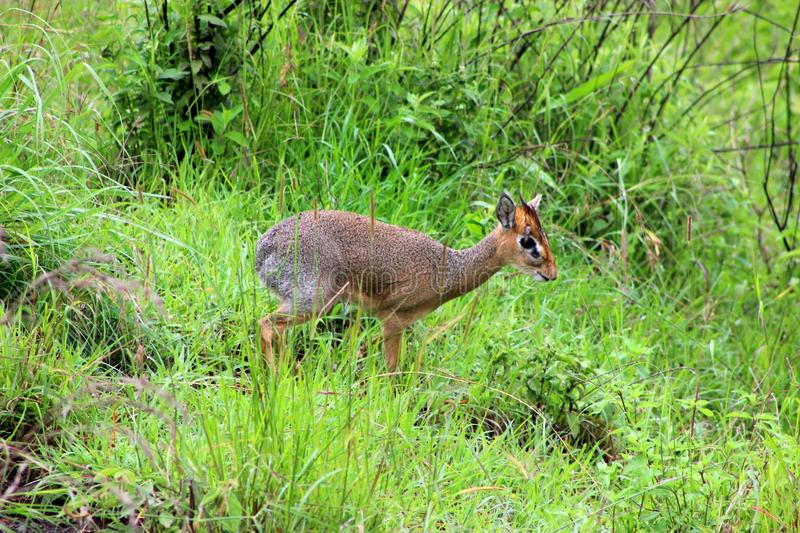 Dik Dik male. Though they look like miniature deer, dik-diks are small antelopes that never get bigger than 30 to 40 cm. When sensing danger, the female warns royalty free stock photo