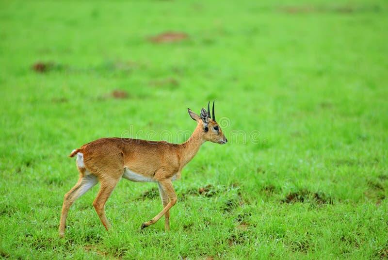 Dik-dik Parque nacional de Murchison Falls, Uganda imagens de stock royalty free