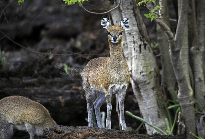 Dik-Dik in het nationale park van Tsavo in Kenia stock fotografie