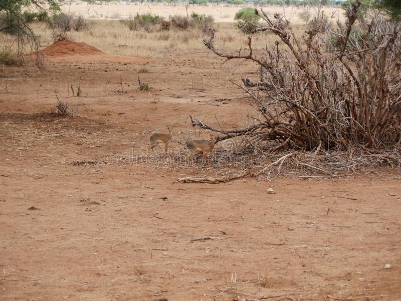 Dik sauvage de Dik, Safari Tarangiri - Ngorongoro en Afrique image libre de droits