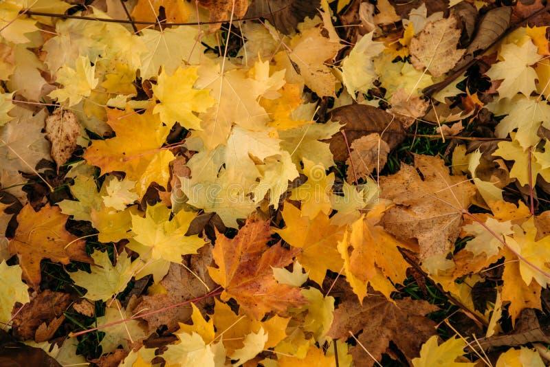 Dik tapijt van gevallen esdoornbladeren Heldere gele esdoornbladeren ter plaatse, close-up achtergrondconcept stock afbeelding