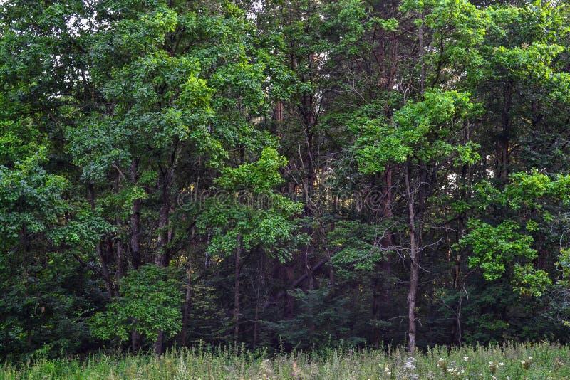 Dik wild vergankelijk bos een ondoordringbaar struikgewas De zomer Rusland stock afbeeldingen