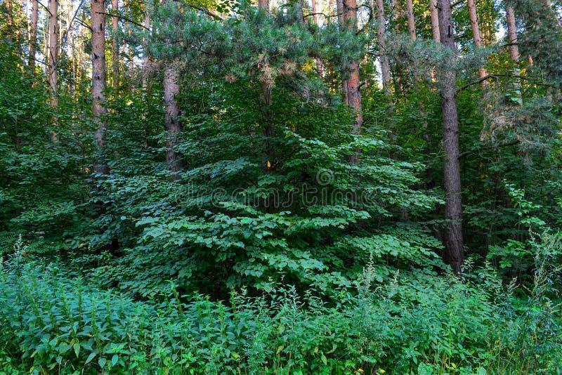 Dik wild vergankelijk bos een ondoordringbaar struikgewas De zomer Rusland royalty-vrije stock foto