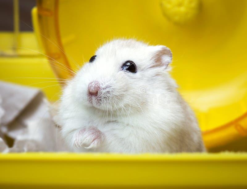 Dikke de hamsterzitting van Jungar van het huishuisdier in een kooi royalty-vrije stock afbeelding