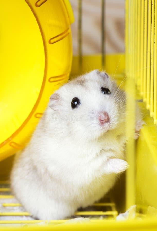 Dikke de hamsterzitting van Jungar van het huishuisdier in een kooi stock fotografie
