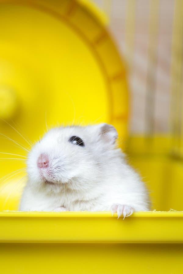Dikke de hamsterzitting van Jungar van het huishuisdier in een kooi stock afbeeldingen