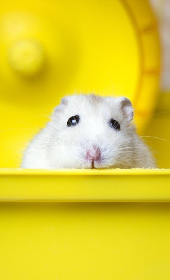 Dikke de hamsterzitting van Jungar van het huishuisdier in een kooi stock afbeelding