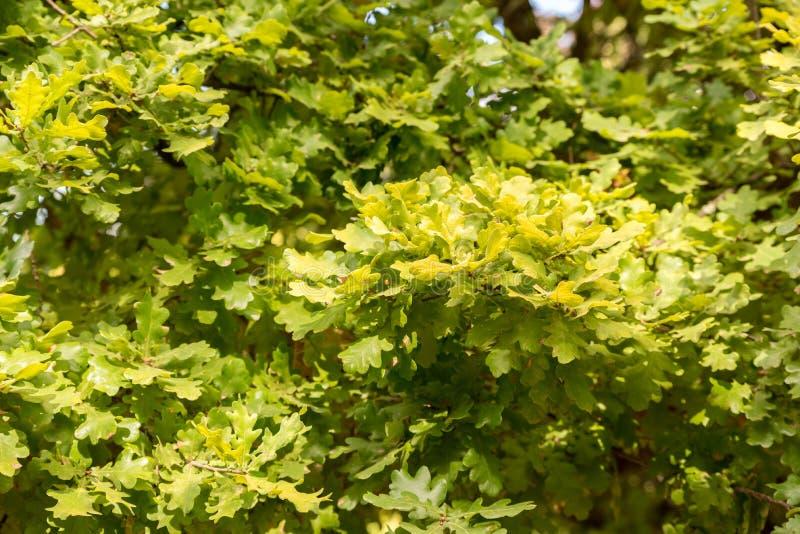 Dikke groene achtergrond van eiken bladeren royalty-vrije stock afbeeldingen