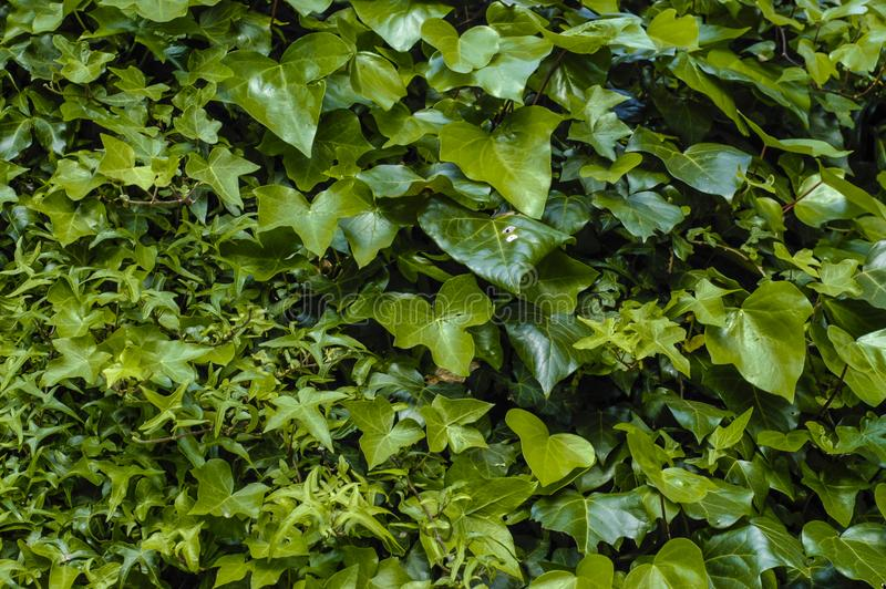 Dikke groene klimopbladeren stock foto