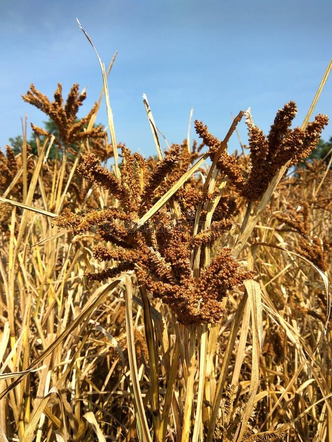 Ragi or nachni healthy Indian High fiber content grain food stock image