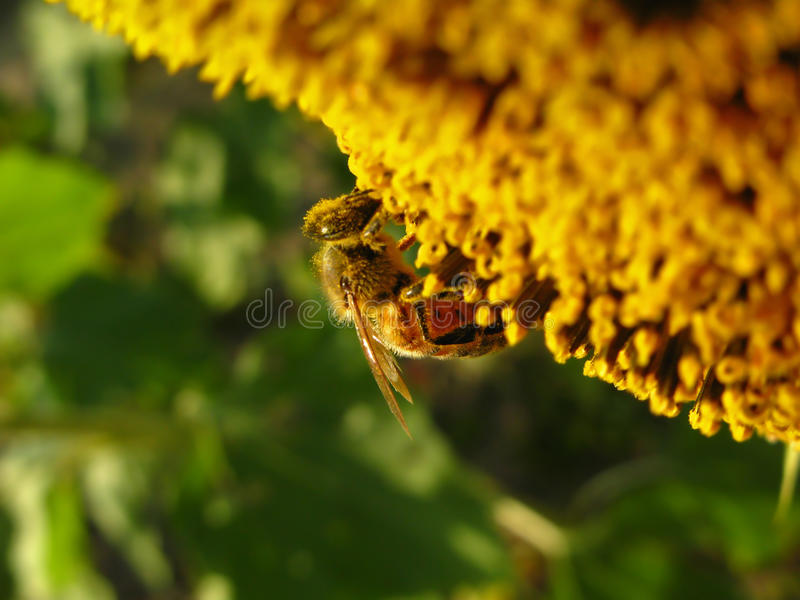 Download A diligent worker stock photo. Image of sunflower, industrious - 11419742