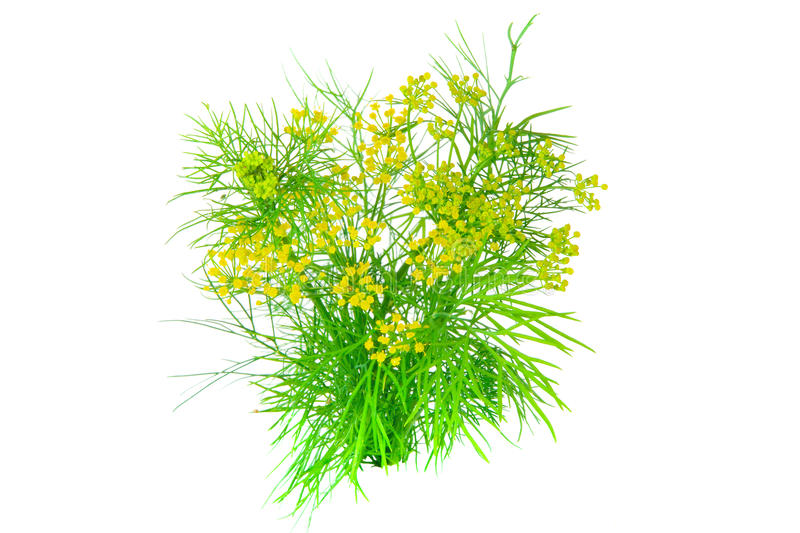 Download Dill stock photo. Image of relish, anethum, fragrant - 19805226