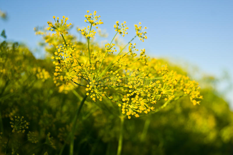 Dill. Flowering dill against beautiful blue sky royalty free stock photography