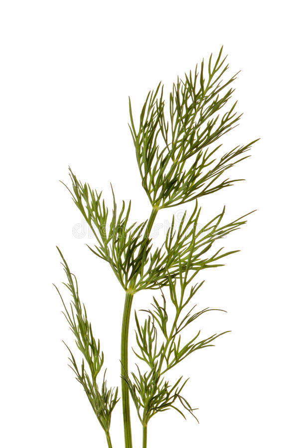 Download Dill stock photo. Image of natural, green, cuisine, cook - 25132498