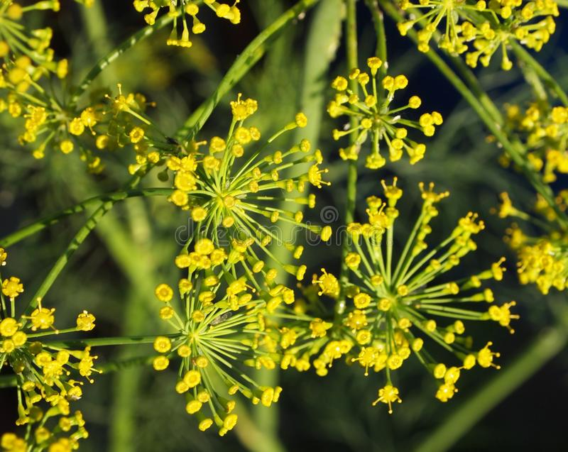 Download Dill Stock Images - Image: 25369864