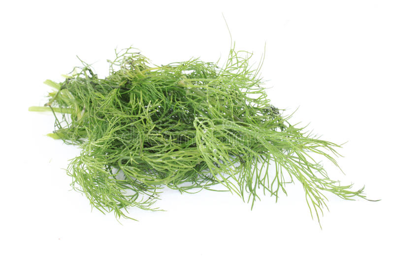 Download Dill stock photo. Image of flavour, green, fresh, plant - 26332094