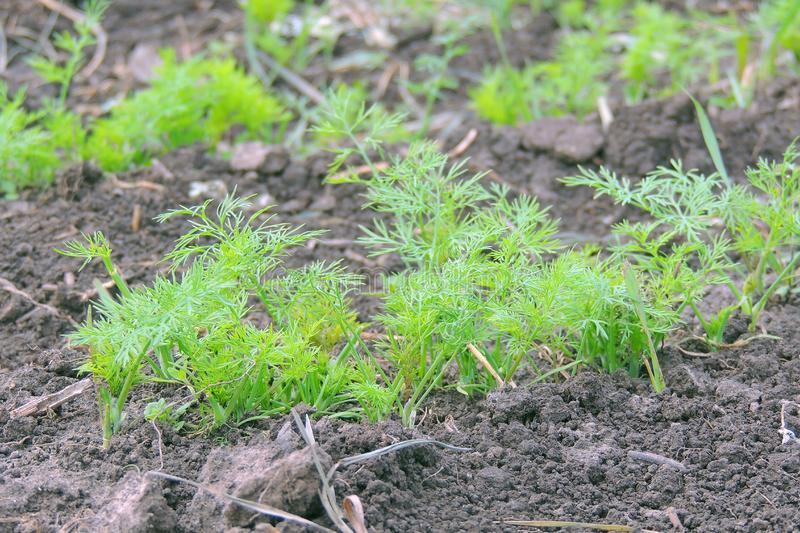 Dill bed in the garden. Dill in raindrops. Garden bed of young dill royalty free stock image