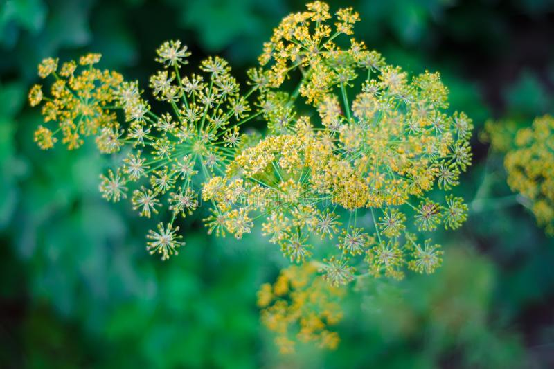 Dill blooms in yellow stock photography