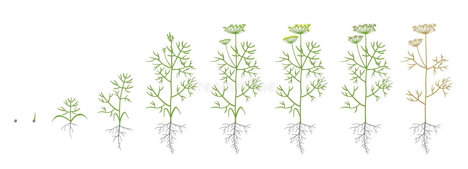 Dill, fennel plant. Growth stages. Vector illustration. Anethum. Ripening period. Dill life cycle with root and seeds. Use fertilizers. Flat color draw on white stock illustration