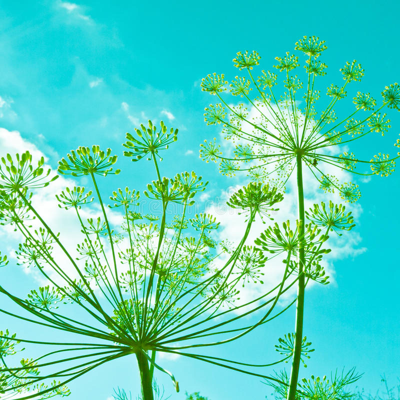 Dill flower umbels. In retro colors stock images