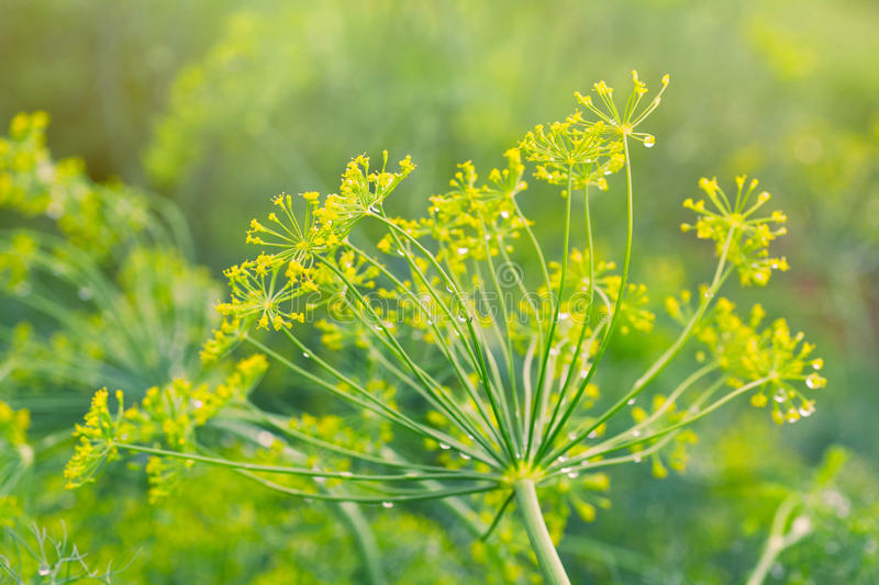 Dill. Flowering in the home garden stock images