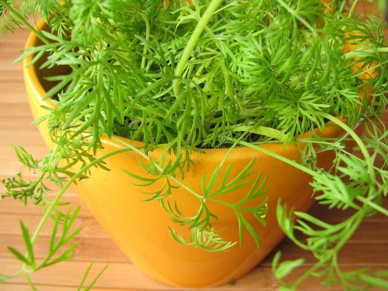 Dill in flowerpot. Fresh dill in yellow flowerpot royalty free stock image