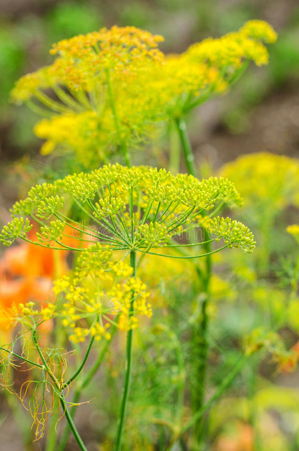 Free Dill Flowers Stock Photos - 31816843
