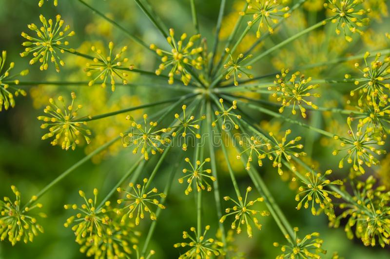 Dill flowers close-up on a green blurred background. The concept of spices, health, aroma stock image
