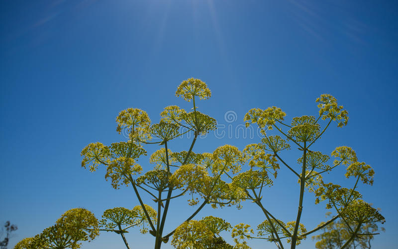 Dill flowers stock photography