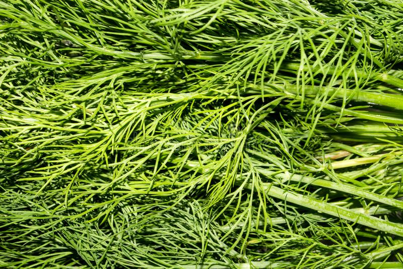 Dill.Fresh green dill. Dill background top view royalty free stock image