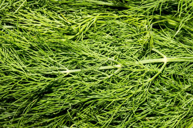 Dill.Fresh green dill. Dill background top view stock images