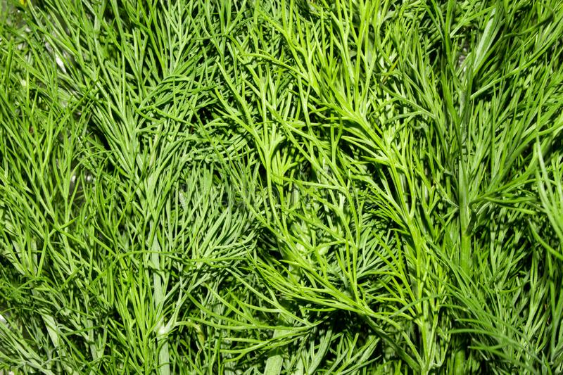 Dill.Fresh green dill. Dill background top view stock photo