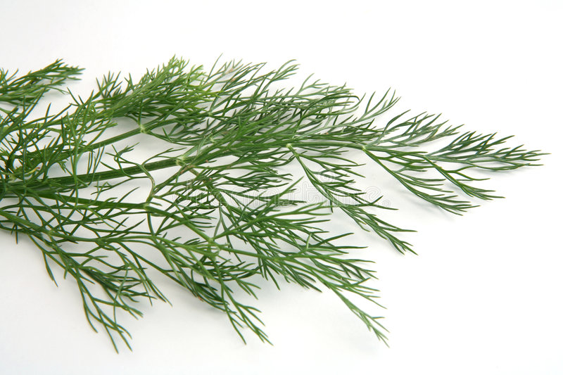 Dill frond royalty free stock image