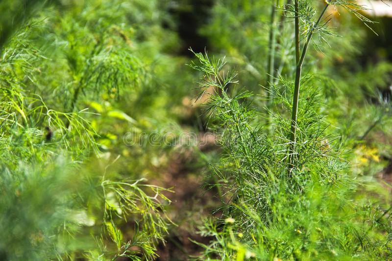 Dill in the garden. Greenery.  stock photography