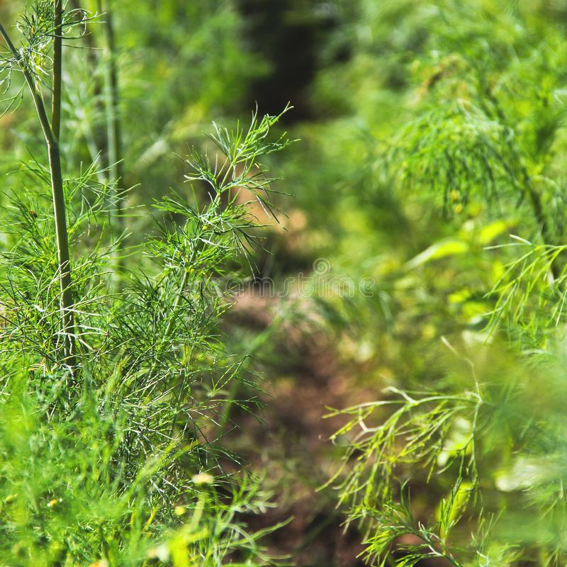 Dill in the garden. Greenery.  stock photo