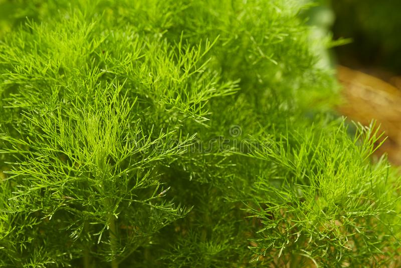 Dill. Herb leaf background stock photo
