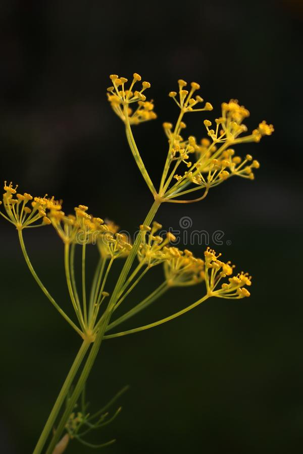 Dill herb yellow seed head pattern close up side view with dark background. Dill herb Anethum graveolens yellow seed head isolated side view close up. Dark stock photo