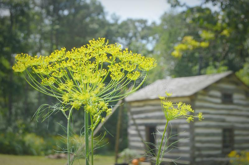 Dill. This is a photo of some dill ready to harvest in front of a historical home at Old World Wisconsin royalty free stock photo
