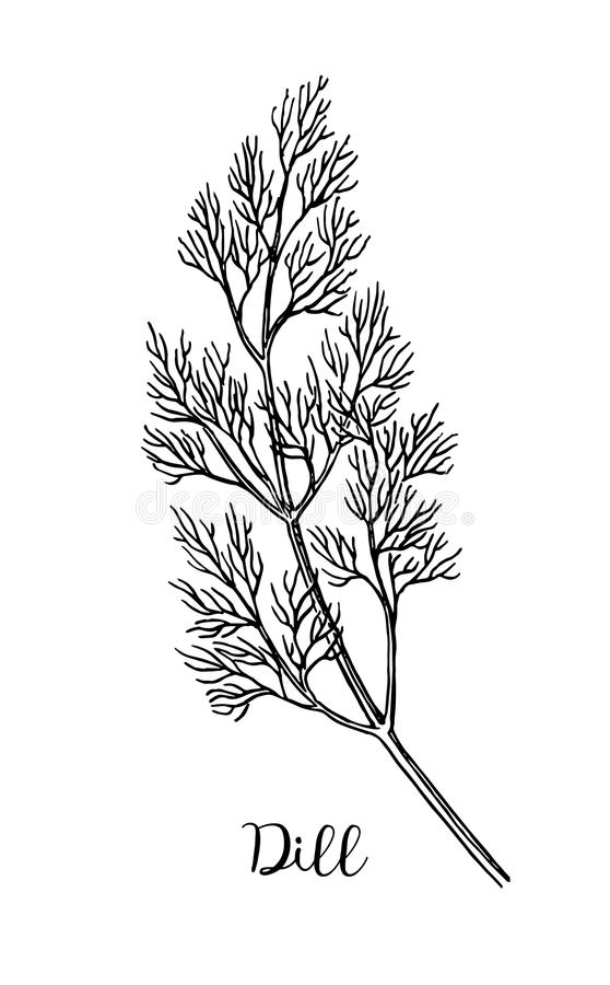 Dill ink sketch. Isolated on white background. Hand drawn vector illustration. Retro style royalty free illustration