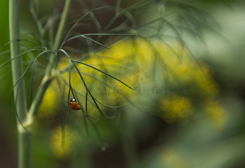 Dill and lady bird stock images